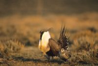 Male and Female Sage Grouse