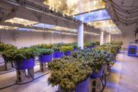 Cal OSHA cites marijuana processor